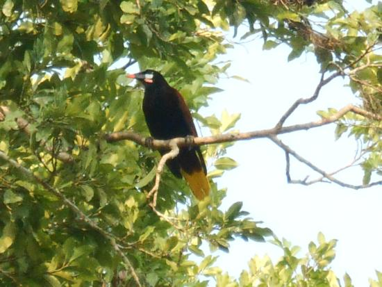 Peten Department, Guatemala: pájaro