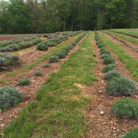 Pottsville, PA: Hope Hill Lavender Farm