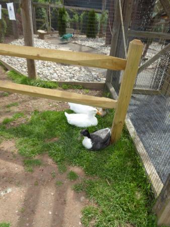 Leesburg, VA: Ducks