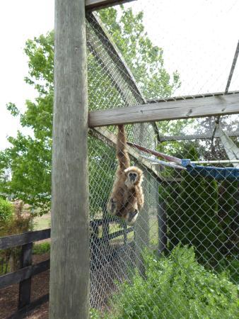 Leesburg, VA: White-Handed Gibbon