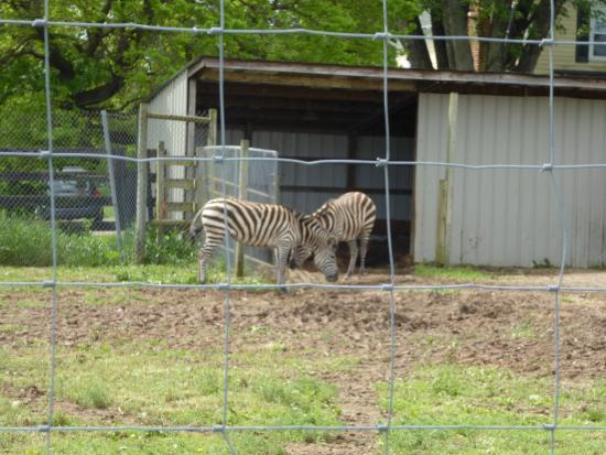 Leesburg, VA: Zebras