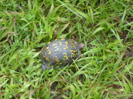 Leesburg, VA: Turtle