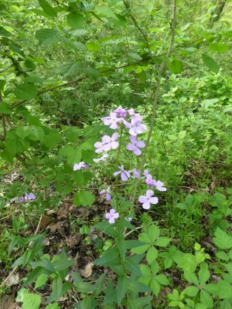 Leesburg, VA: Lilac flowers
