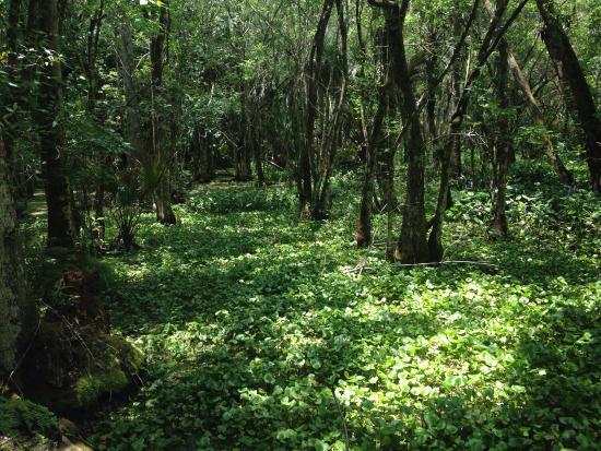 ซีบริง, ฟลอริด้า: A walk through the hammock and the cypress swamp.