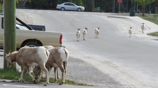 Radium Park Lodge: Local wildlife passing by