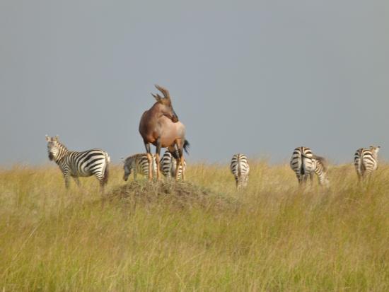 Musiara Swamp: Topi and plains zebras at Musiara Marsh