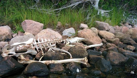 Dingwall, Canadá: Moose Skeleton on the way
