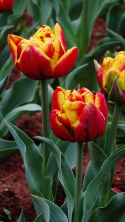 Hunan Forest Botanical Garden : Tulips in the bulb beds 12 March