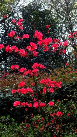 Hunan Forest Botanical Garden : Azaleas mostly finished by 12 March