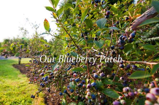 Lincolnville, ME: Our Maine blueberries
