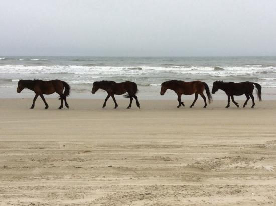 Wild Horses Walking Along Carova Beach