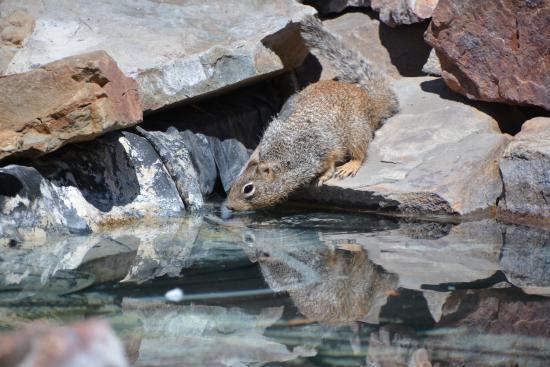 Hereford, AZ: Thirsty Squirrel