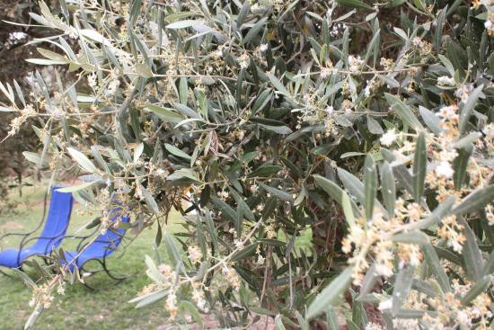 Atlas Farm Chez Kossai: Garten unter blühenden Olivenbäumen