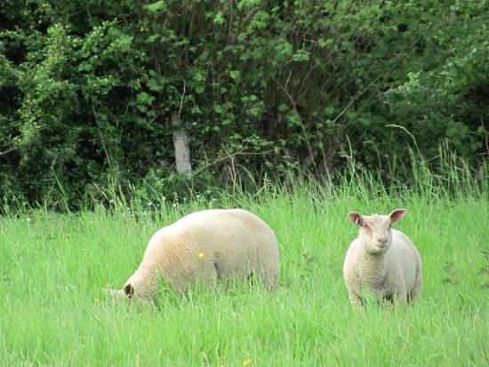 Clamecy, Fransa: Dans un environnement magnifique, des moutons dans la prairie à quelques mètres du Gîte.