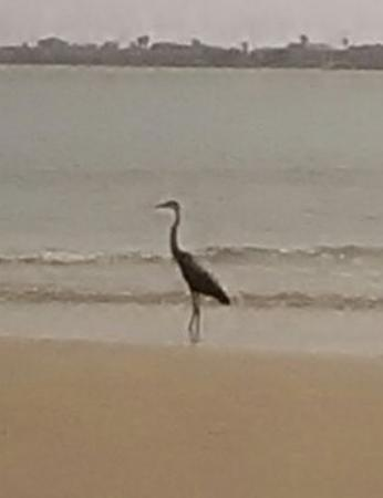 Surfside Beach, Teksas: beautiful bird fished with me all day