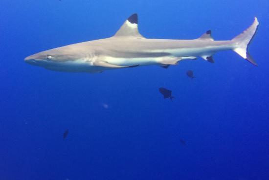 TOPDIVE Bora Bora : Black Tip at 58 feet, AWESOME!