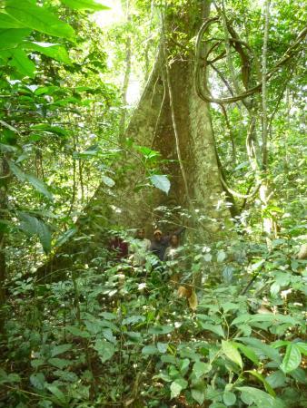 Kamerun: Boom met enorme plankwortels