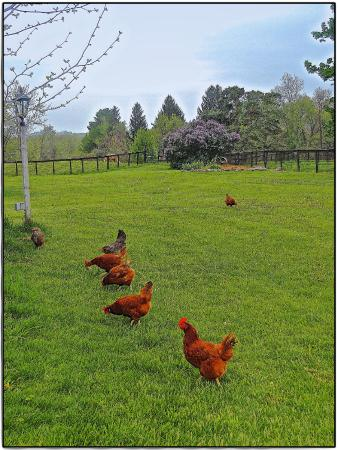 WhistleWood Farm Bed and Breakfast: Farm Chickens