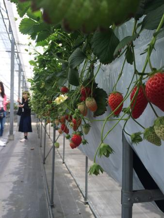 Minamichita Strawberry Farm