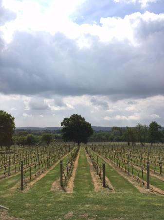 Nutbourne Vineyard: the vines