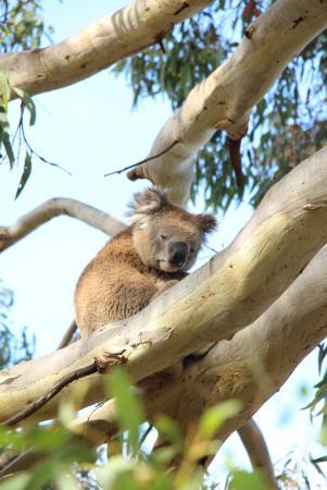 Kingscote, Australia: lots of koalas