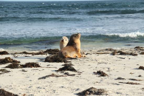 Kingscote, Australia: sea lions at our feet