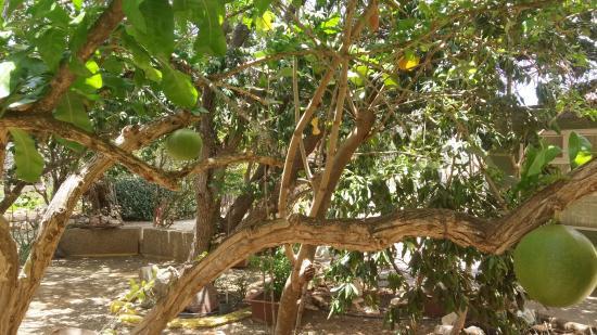 Den Paradera - Dinah's Botanic & Historic Garden: Kalabassen boom