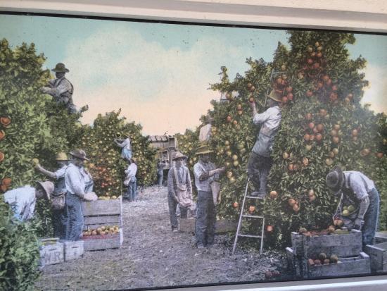 Kissimmee, Flórida: Old timey orange picking