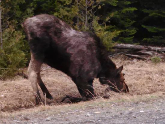 กรีนวิลล์, เมน: Moose Praying!
