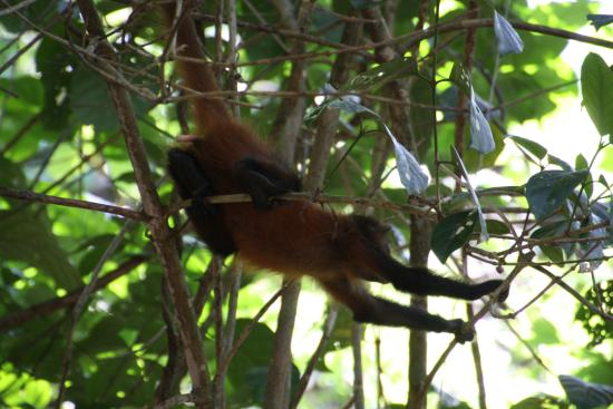 Copa de Arbol Beach and Rainforest Resort: Drake Bay hiking trail, squirrel monkey