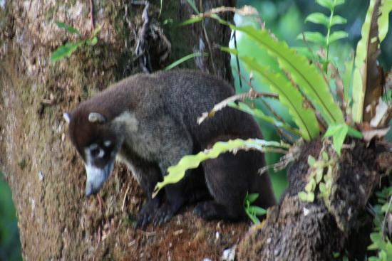 Copa de Arbol Beach and Rainforest Resort: Coati hunting for food