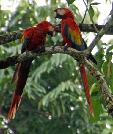 Copa de Arbol Beach and Rainforest Resort: Scarlet Maccaws