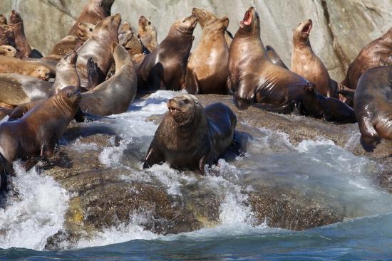 Prince Rupert, Canada: Stellar Sea Lion in Catham Sound