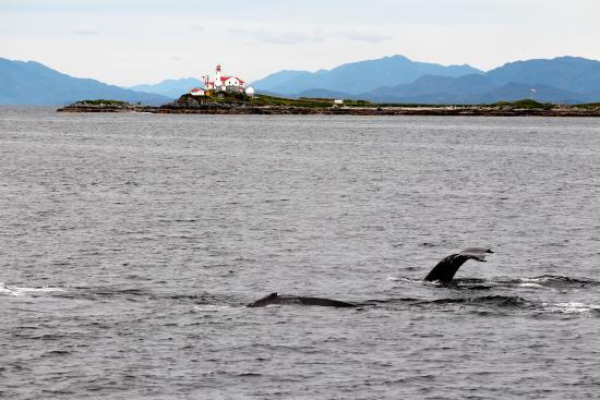 Prince Rupert, Canada: Humpback Whales infront of Green Island Lighthouse