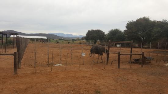 Safari Ostrich Farm Cafe : Autruche