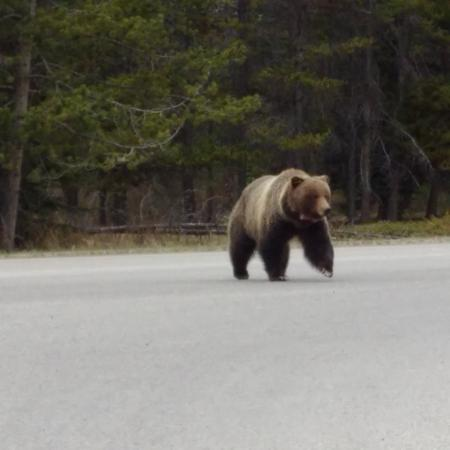 Banff Rocky Mountain Resort: crossing the road by the resort...very cool