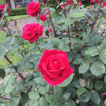 BEST WESTERN Windsor Inn: Beautiful courtyard, roses, hydrangeas, rhododendrons. The red roses were in bloom and were espe