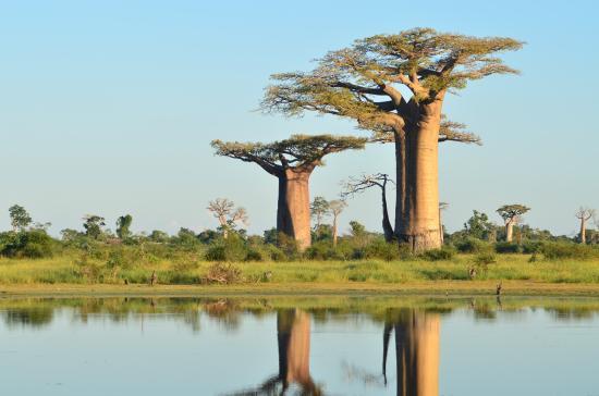 Photo0 Jpg Picture Of Avenue Of The Baobabs Morondava