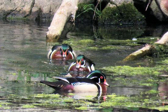 Ha Ha Tonka State Park: male wood ducks