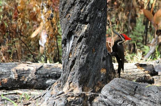 Highlands Hammock State Park: Pileated Wood-pecker