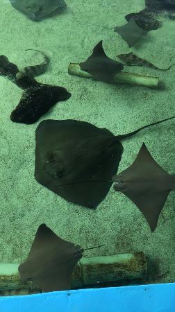 stingrays picture of gulfarium marine adventure park fort walton rh tripadvisor com
