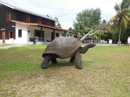 جزيرة براسلين, سيشيل: tortue géante