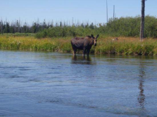 Mack's Inn Resort - Moose on River