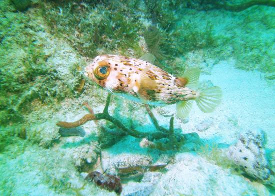 Amoray Dive Resort: Porcupine Fish