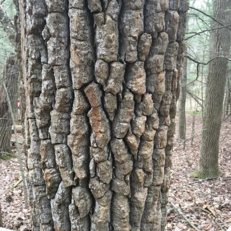 Kent, CT: big tree