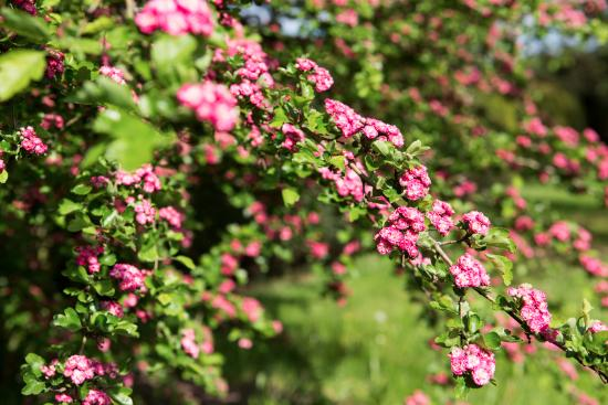 Beautiful deep pink flowers in the gardens of fulham palace beautiful deep pink flowers in the gardens of fulham palace mightylinksfo Image collections