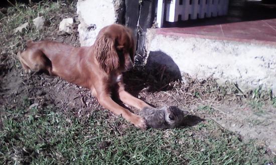 Hotel Campestre Hacienda Yanamarca: Moly jugando con los gatos