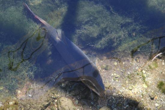 Westland National Park (Te Wahipounamu), Nueva Zelanda: Giant Trout