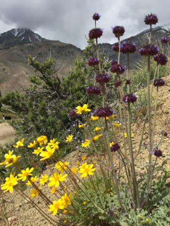 Independence, CA: High desert wildflowers behind the motel