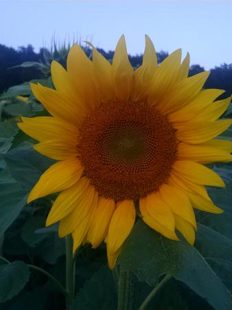 Griswold, CT: Sunflower